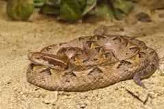 Schlange, malaiische Gruben-Viper lizenzfreie stockbilder