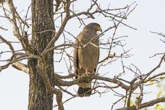 Schlange mit Haube Eagle Looking für Opfer Lizenzfreie Stockfotografie