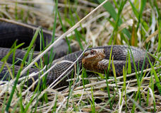 Schlange Vipera berus nikolskii in der Natur Lizenzfreies Stockbild