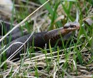 Schlange Vipera berus nikolskii in der Natur Lizenzfreie Stockfotos