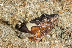Schlangen-Aal, der im Sand sich versteckt Lizenzfreies Stockbild