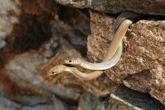 Schlangen in der Liebe Stockfotografie