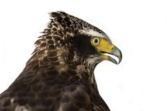 Schlangen-Eagle Spilornis-cheela mit Haube, Greifvögel Lizenzfreie Stockfotografie
