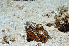 Clownschlangenaal stockfoto