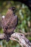 Schlangenadler, der auf einem Baum hockt Stockbild