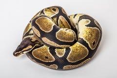 Schlangenarm: Königliche Pythonschlange Stockfotos