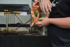 Schlangentier übergibt Maisschlangen-Farbtier Stockbild