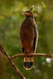 Schlangenweihe, Spilornis-cheela Lankan Adler Sri, gehockt auf der Stammwaldumwelt, nach Opfer suchend Photogra der wild lebenden Stockbilder