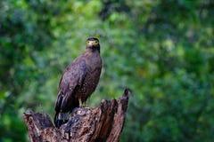 Schlangenweihe, Spilornis-cheela Lankan Adler Sri, gehockt auf Stamm in der Waldumwelt, nach Opfer suchend Foto der wild lebenden Stockfotografie