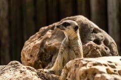 Schlank-angebundener meerkat Suricata passen an auf Gefahr auf Lizenzfreie Stockfotografie