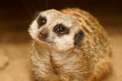 Schlank-angebundenes Meercat Lizenzfreie Stockfotos
