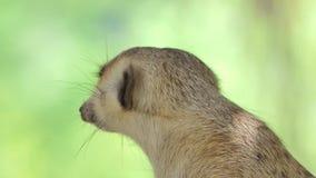 Schlank-angebundenes Meerkat im Wald stock video footage