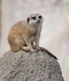 Schlank-angebundenes Meerkat (Suricata suricatta) Lizenzfreies Stockfoto