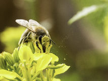 The Schlaraffenland. Bee on yellow flower covered with flower dust Stock Photo
