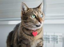 Schlaue Bengal-Katze mit einem rosa Kragen ist faszinierend grinsend stockfotos