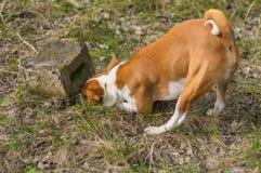 Schlauer basenji Hund, der nach Nagetier jagt stockfotos