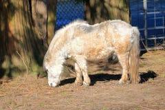 Schlecht gepflegtes vernachlässigtes die Shetlandinseln-Pony stockbild