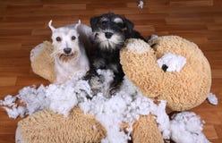 Schlechte freche Schnauzerhunde zerstörten Plüschspielzeug Stockbilder