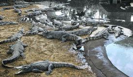 schlechte Krokodile am Bauernhof Lizenzfreies Stockfoto