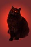Schlechte schwarze Katze mit glühenden Augen Stockfotografie