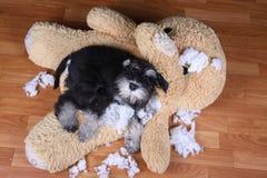 Schlechter frecher zerstörtes Plüschspielzeug des Schnauzer Hund Lizenzfreie Stockfotografie