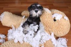 Schlechter frecher zerstörtes Plüschspielzeug des Schnauzer Hund Stockfotografie