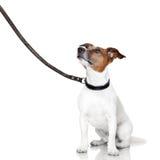 Schlechter Hund, der oben schaut Stockbild