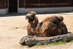 Schlechter Tierschutz Sch?biges zerzaustes Kamel im Moskau-Zoo lizenzfreie stockfotografie