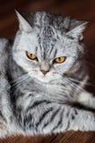 Schlechtes britisches Katzenlügen Lizenzfreies Stockbild