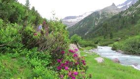 Alpenrose Rhododendron ferrugineum in bloom at Schlegeis valley Tirol in Austria. Schlegeis, Tirol/ AUSTRIA July 8 2019: Alpenrose Rhododendron ferrugineum in stock footage