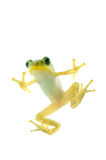 Japanese tree frog Royalty Free Stock Photos