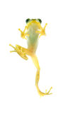 Japanese tree frog Royalty Free Stock Images