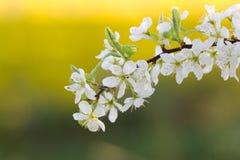 Schlehdorn-Baum - Dornen Gartenbaum Stockbild