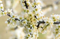 Schlehdorn in der Blume Stockfotografie