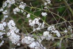 Schlehdorn im Frühjahr stockbilder