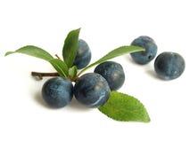Schlehdorn (Prunus Spinosa) Stockfotos