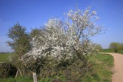Schlehdornbusch, der im Frühjahr blüht Lizenzfreie Stockbilder