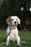Schleichender weiblicher Spürhund in einem Park Stockbilder