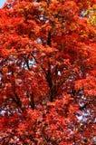 Schleichera oleosa, Ceylon dąb, kusum drzewo/ Obrazy Stock