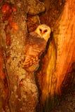 Schleiereule, die auf Baumstamm am Abend mit nettem Licht nahe der Nisthöhle sitzt Schleiereule, die auf Baumstamm am Abend sitzt Stockbilder