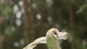 Schleiereule flattert seine Flügel in der Hand des Mannes stock video footage