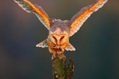 Schleiereule mit Fangmaus Vogel im netten orange Licht Herbstwald, schöner Vogel Eule, Tierszene der wild lebenden Tiere, Natur O Stockfotografie