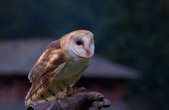 Schleiereule (Tyto alba) Lizenzfreies Stockbild