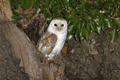 Schleiereule, Tyto alba Lizenzfreie Stockfotografie