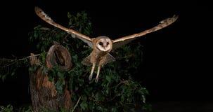Schleiereule, Tyto alba, Erwachsener im Flug, Normandie stock video