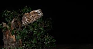Schleiereule, Tyto alba, Erwachsener im Flug, Normandie, stock footage