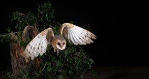 Schleiereule, Tyto alba, Erwachsener im Flug, Normandie stock footage