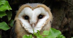 Schleiereule, Tyto alba, Porträt von unreifem herum schauen, Normandie in Frankreich, Zeitlupe stock footage