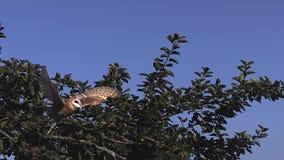 Schleiereule Tyto Start alba vom Apfelbaum stock footage
