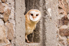 Schleiereulevogel Stockfotografie